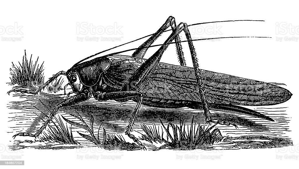 Desert Locust (Schistocerca Gregaria) vector art illustration