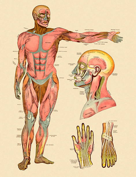 Muscular System Diagram Labeled Clip Art Vector Images