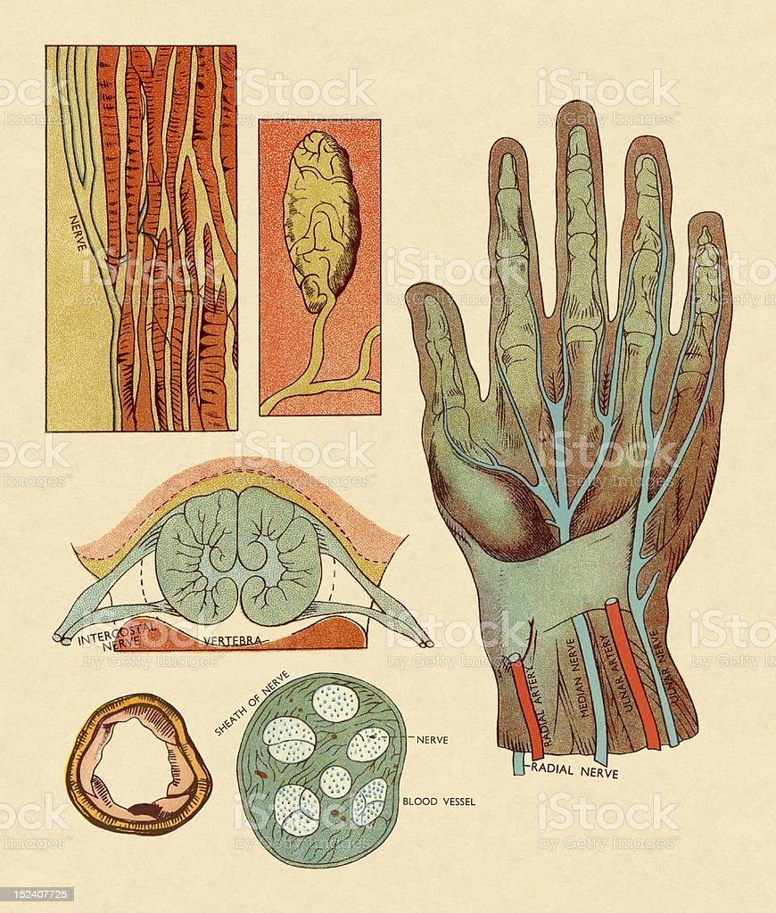 Diagram of Hand Nerves and Arteries royalty-free stock vector art