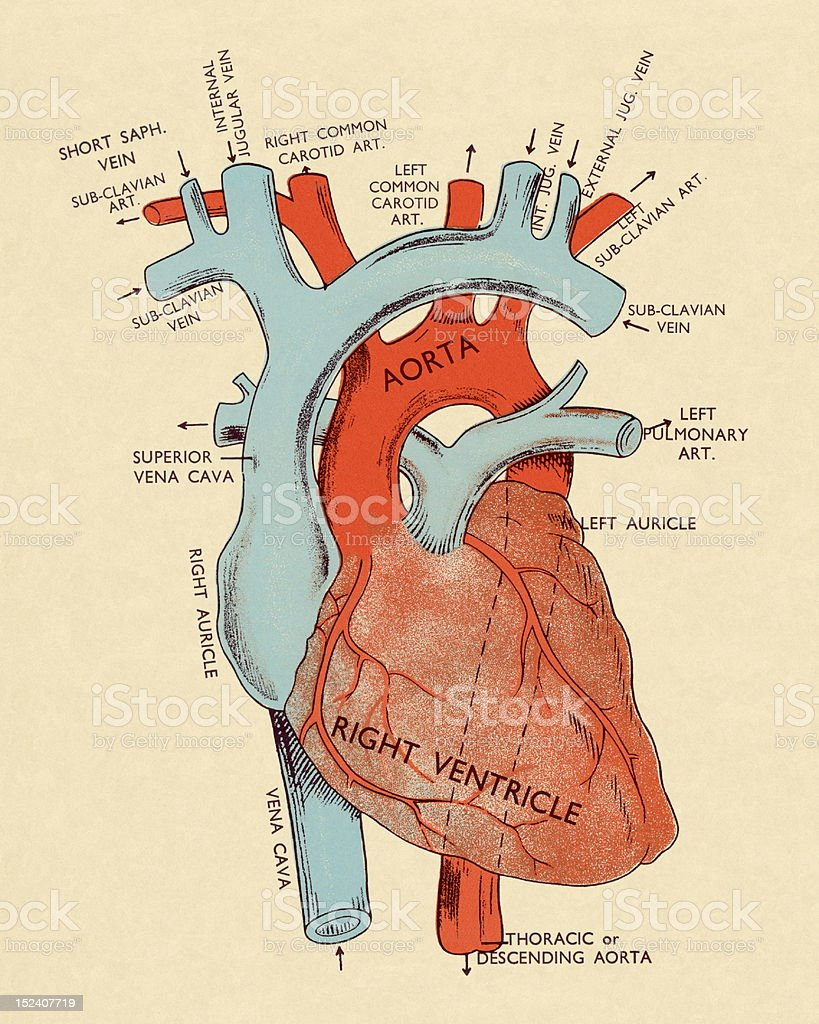Diagram of Heart vector art illustration