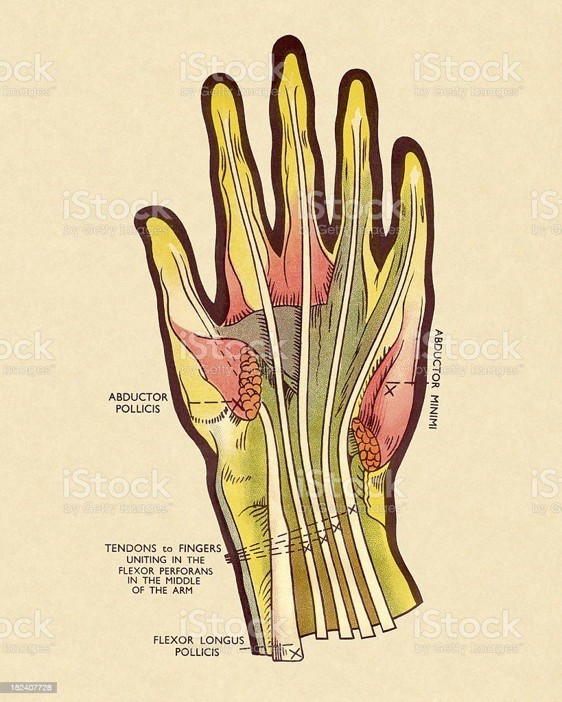 Diagram of Tendons in Hand royalty-free stock vector art