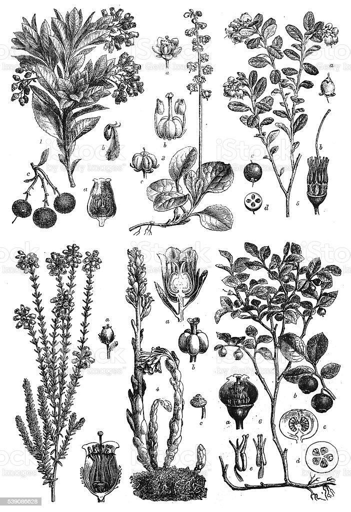 Dicotyledons: Sympetalae vector art illustration