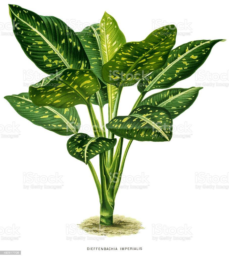 Dieffenbachia plant, 19 century illustration vector art illustration