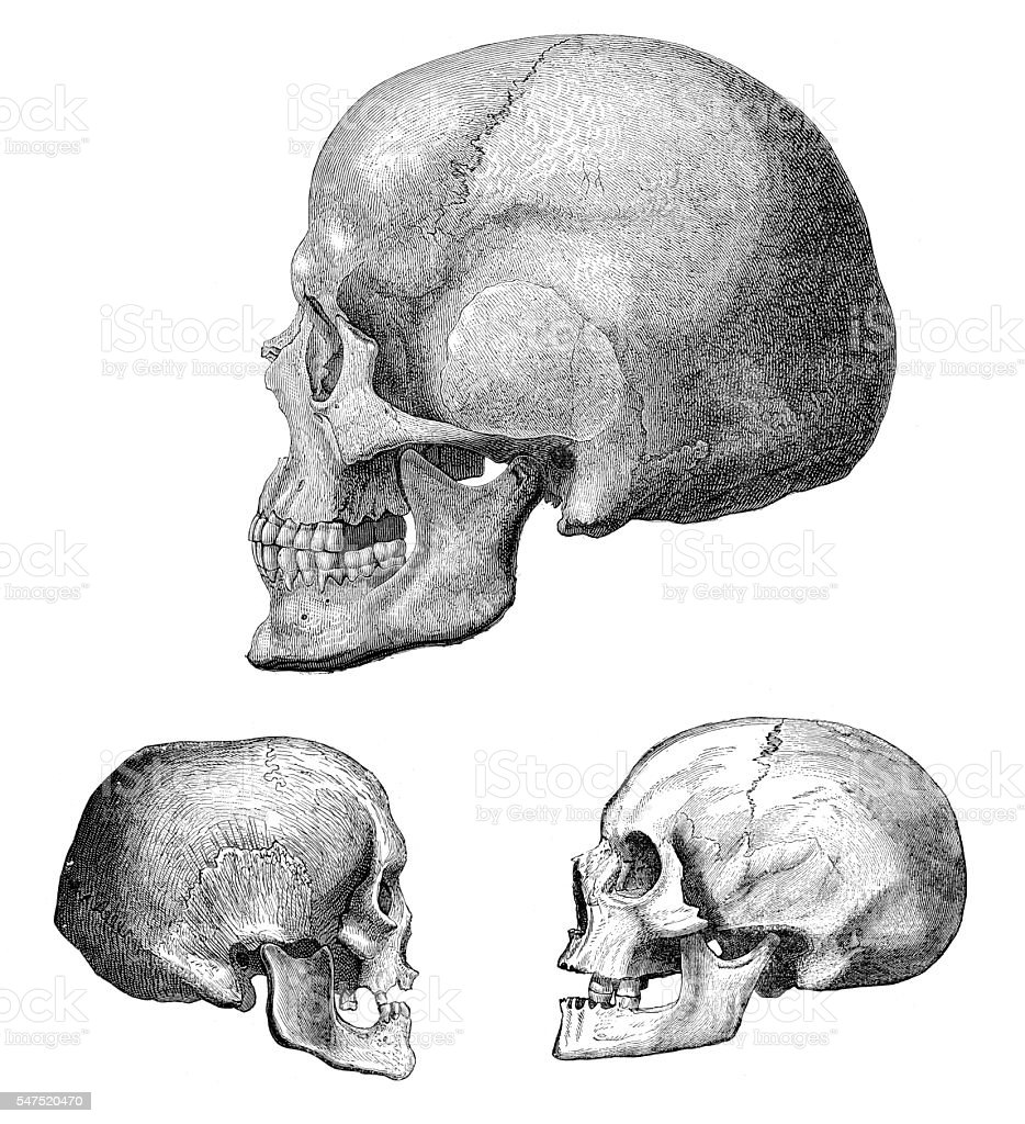 Different human skull of Cro-Magnon 1880 stock photo