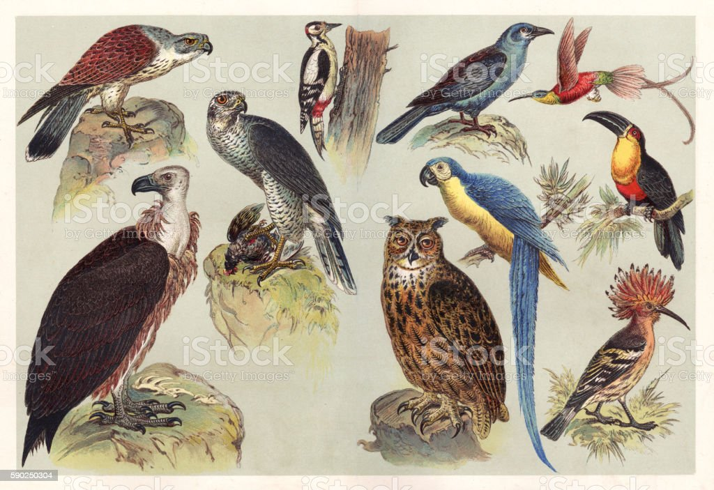 Different kids of birds chromolithography 1888 vector art illustration