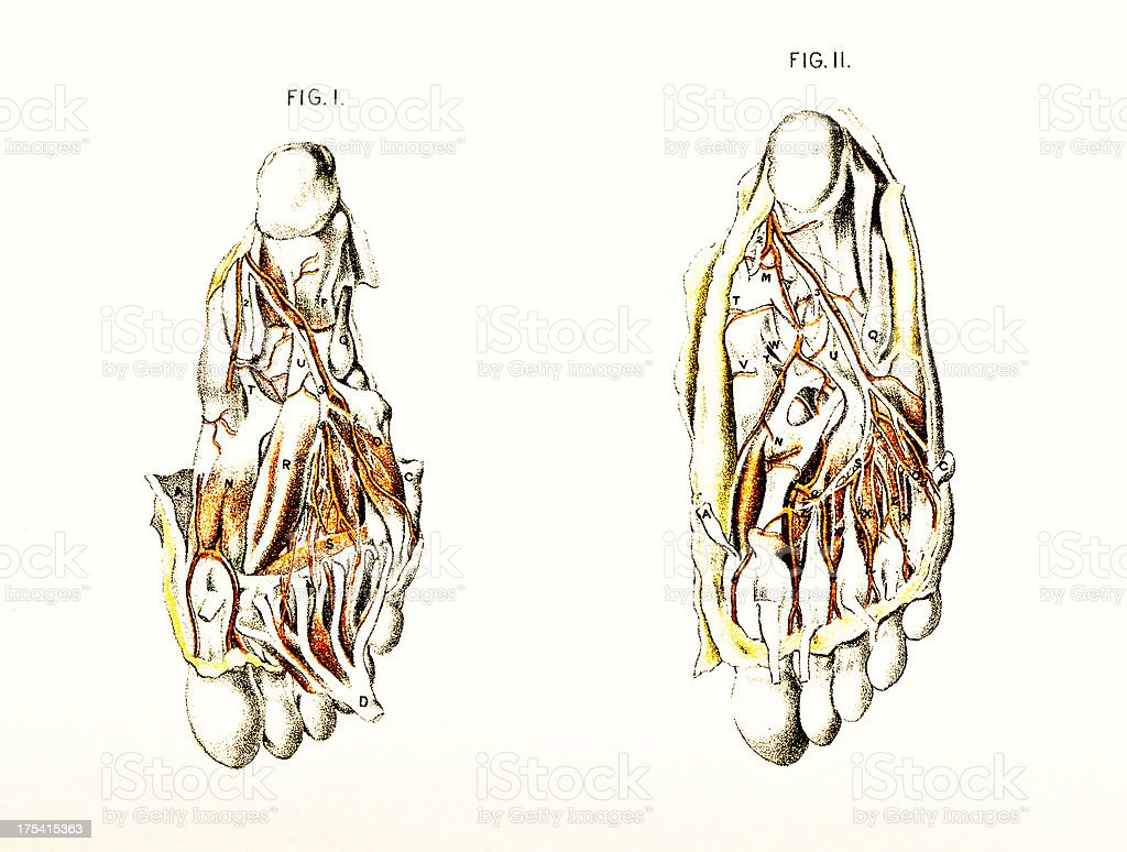 Dissection of Foot Showing Arteries and Veins - Victorian Illustration royalty-free stock vector art