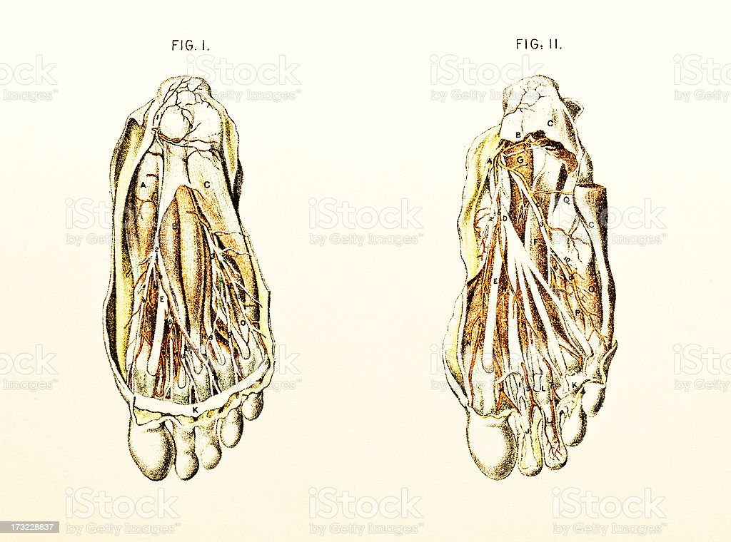 Dissection of Foot Showing Nerves - Victorian Illustration royalty-free stock vector art