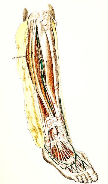 Vectores de Ilustraciones Científicas De Anatomía Humana: Piernas ...