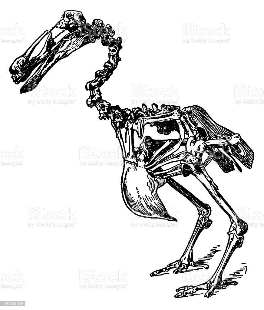 Dodo skeleton   Antique Bird Illustrations vector art illustration