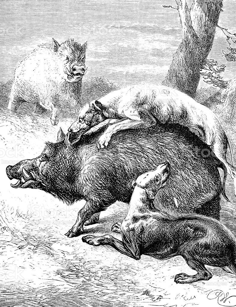 Dogs Attacking WIld Boar - Victorian Illustration royalty-free stock vector art
