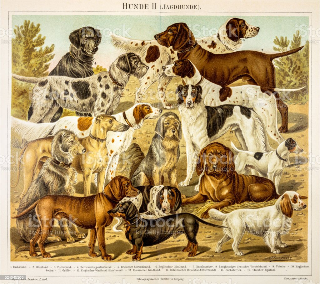 Dogs for hunting engraving 1895 stock photo
