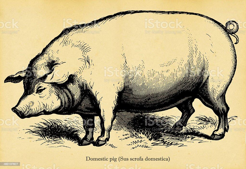 Domestic pig royalty-free stock vector art
