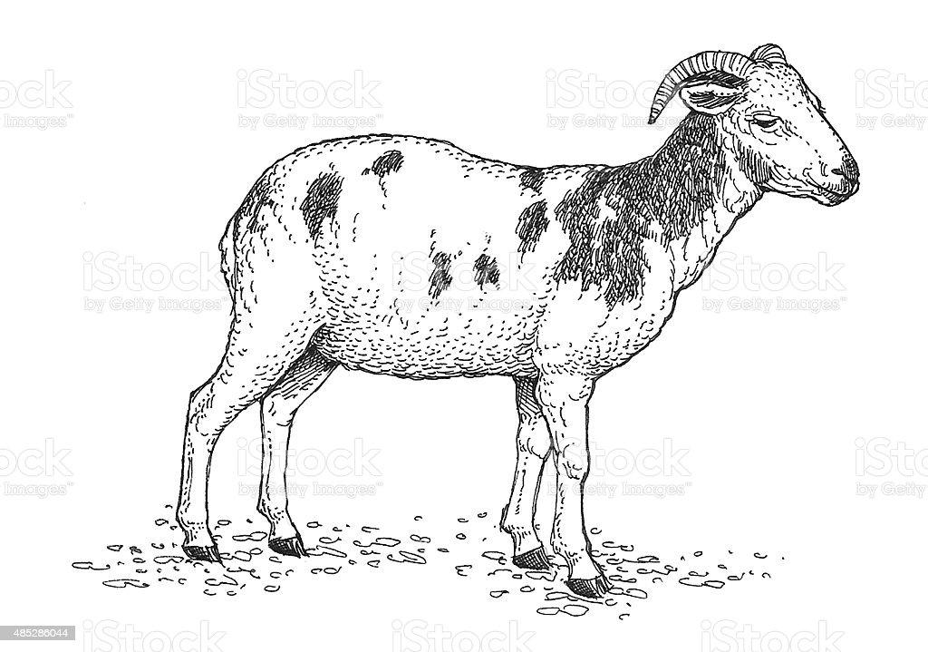 Domestic Schaf 1 Lizenzfreies vektor illustration