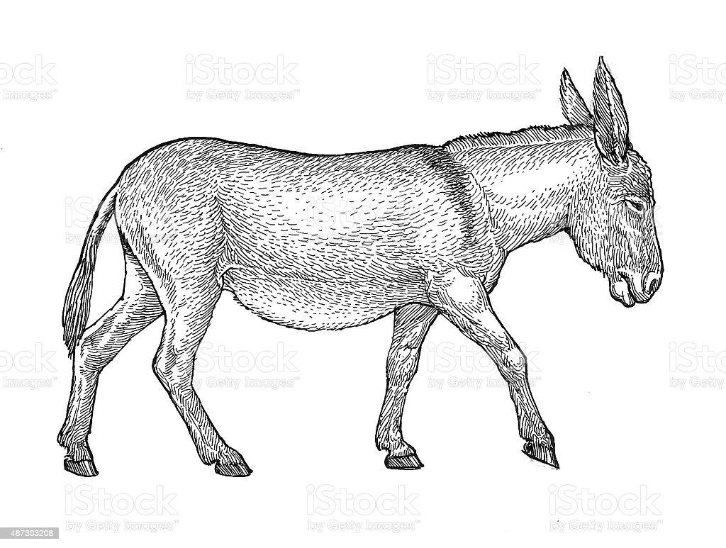 Esel Lizenzfreies vektor illustration