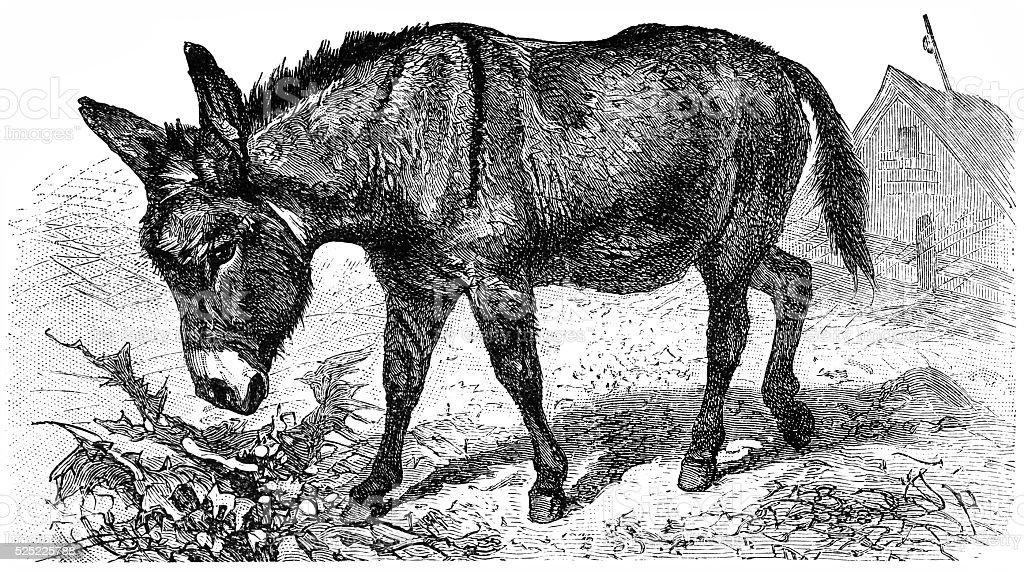 Donkey or Ass (Equus Africanus Asinus) vector art illustration