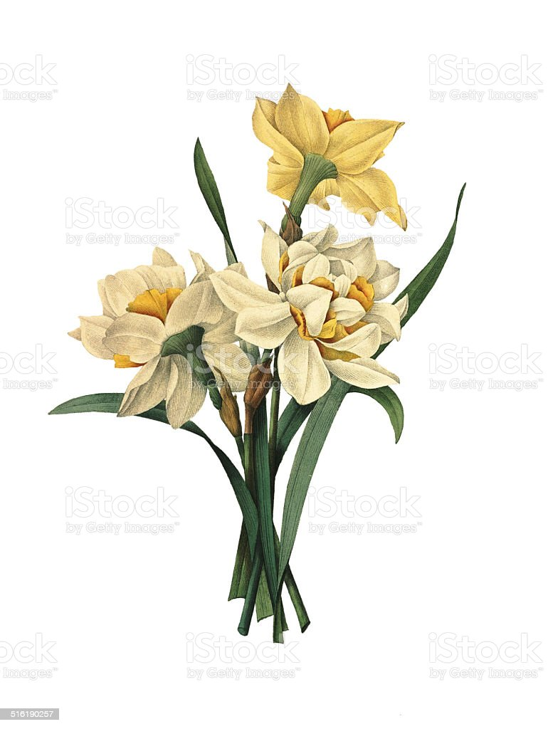 Double daffodils | Redoute Flower Illustrations vector art illustration