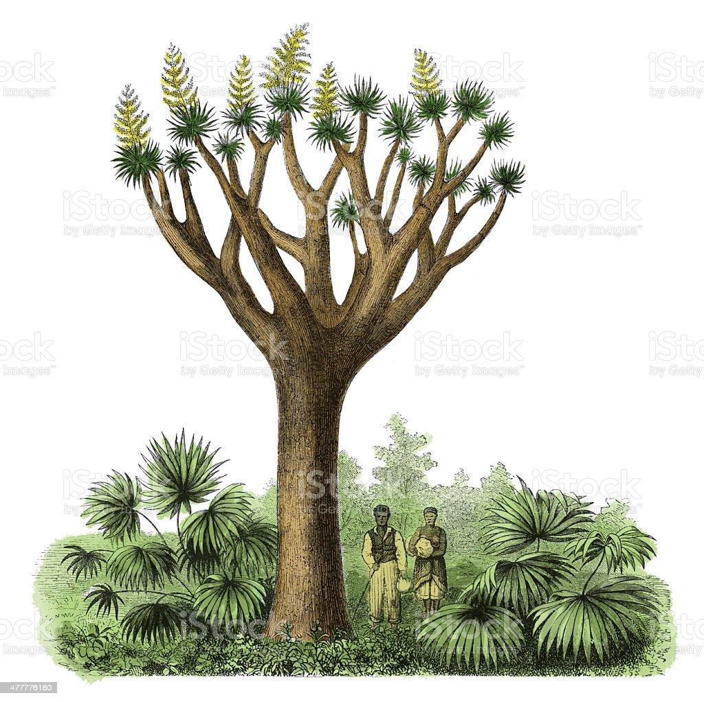 Dracaena draco (antique botanical engraving) vector art illustration