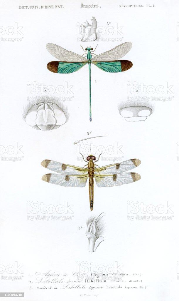 dragonflys,historic scientific illustration, 1849 vector art illustration