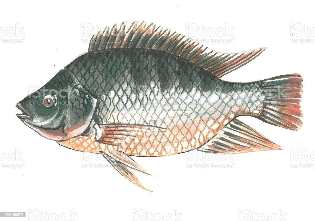 Drawing of a gray Tilapia fish with orange gills vector art illustration