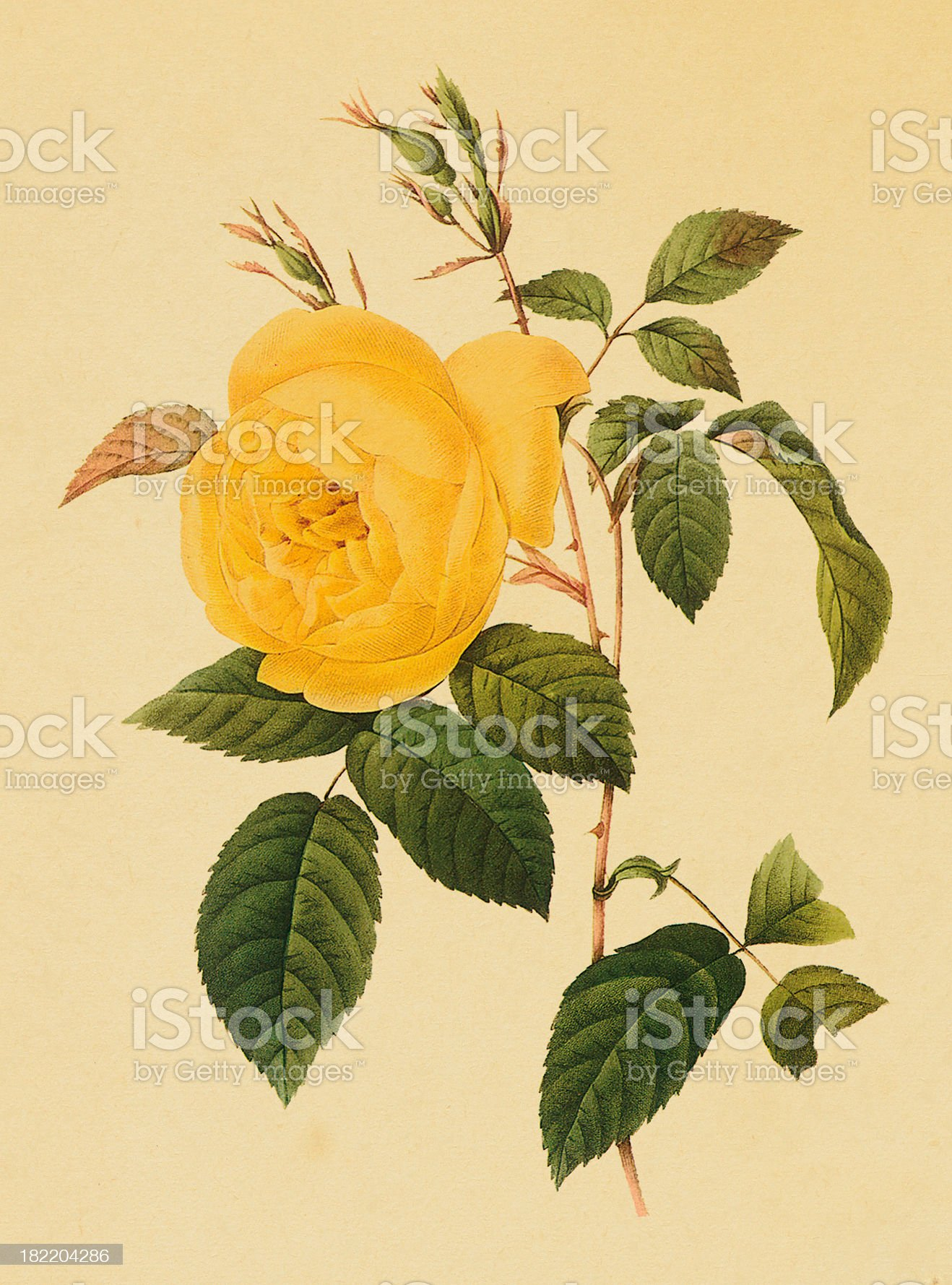Drawing of a yellow tea rose with green leaves royalty-free stock vector art