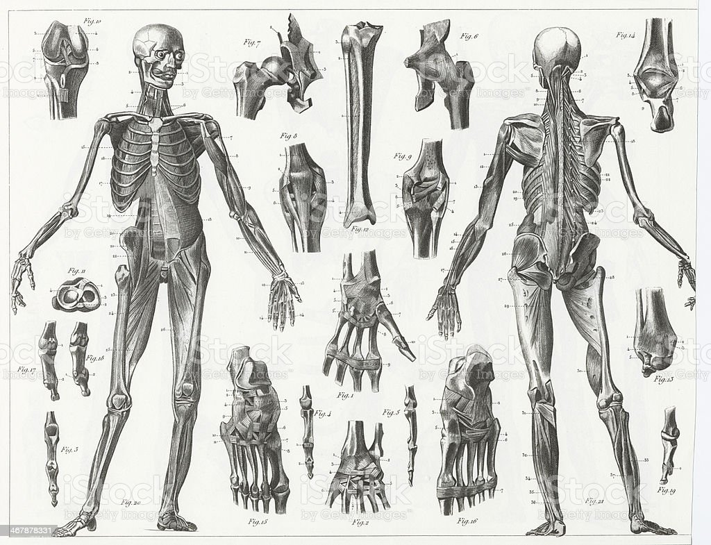 Drawings of the anatomy of human muscles and ligments vector art illustration