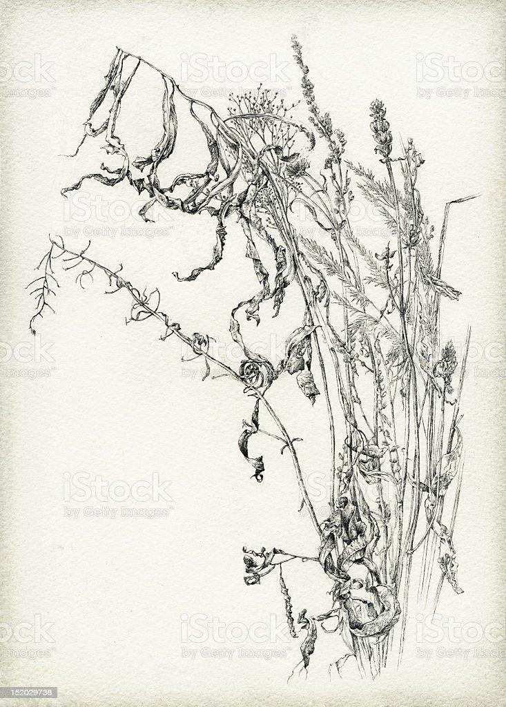 Dry herbs vector art illustration