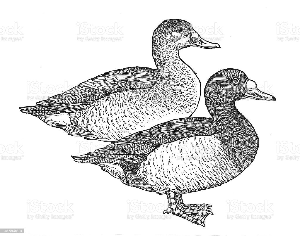 Ducks Lizenzfreies vektor illustration