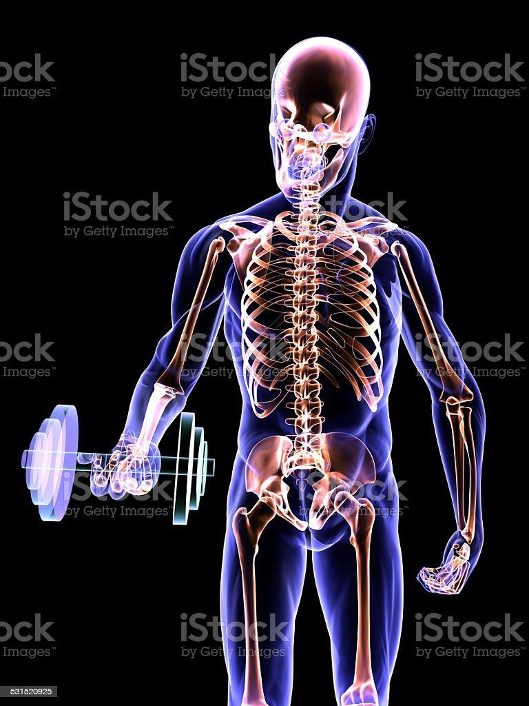 Dumbbell Curl and Skeletal System vector art illustration