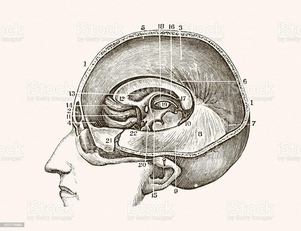 Dura Mater in the human brain 19 century medical illustration vector art illustration