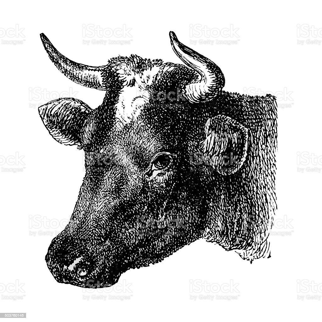 Dutch Cow vector art illustration