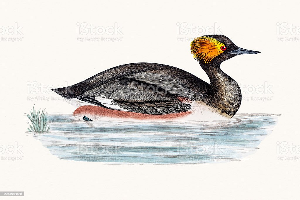 Eared Grebe bird vector art illustration