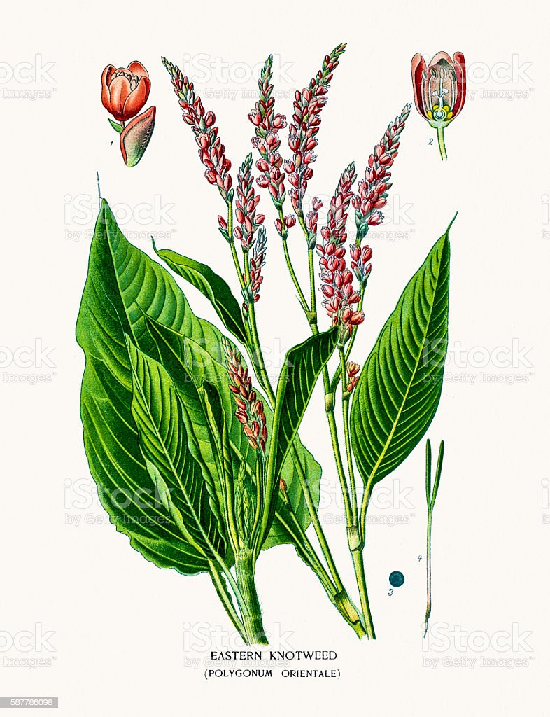 Eastern knotweed vector art illustration