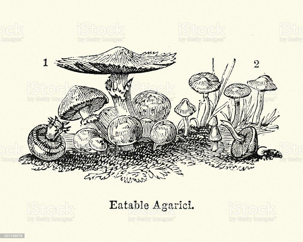 Eatable Agaricus mushrooms vector art illustration