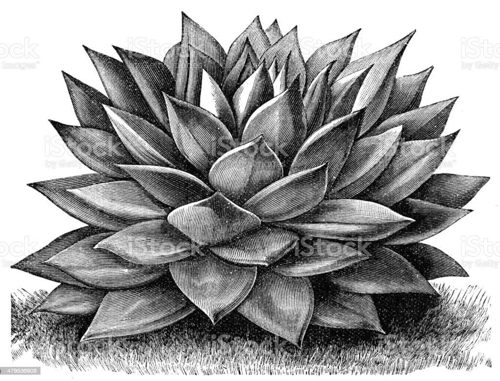 Echeveria vector art illustration