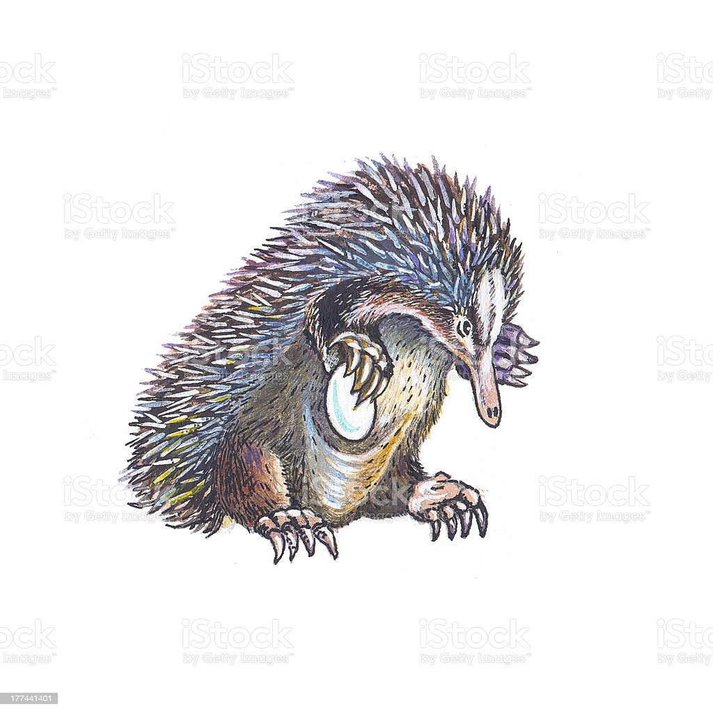 Echidna (Spiny Anteater) royalty-free stock vector art