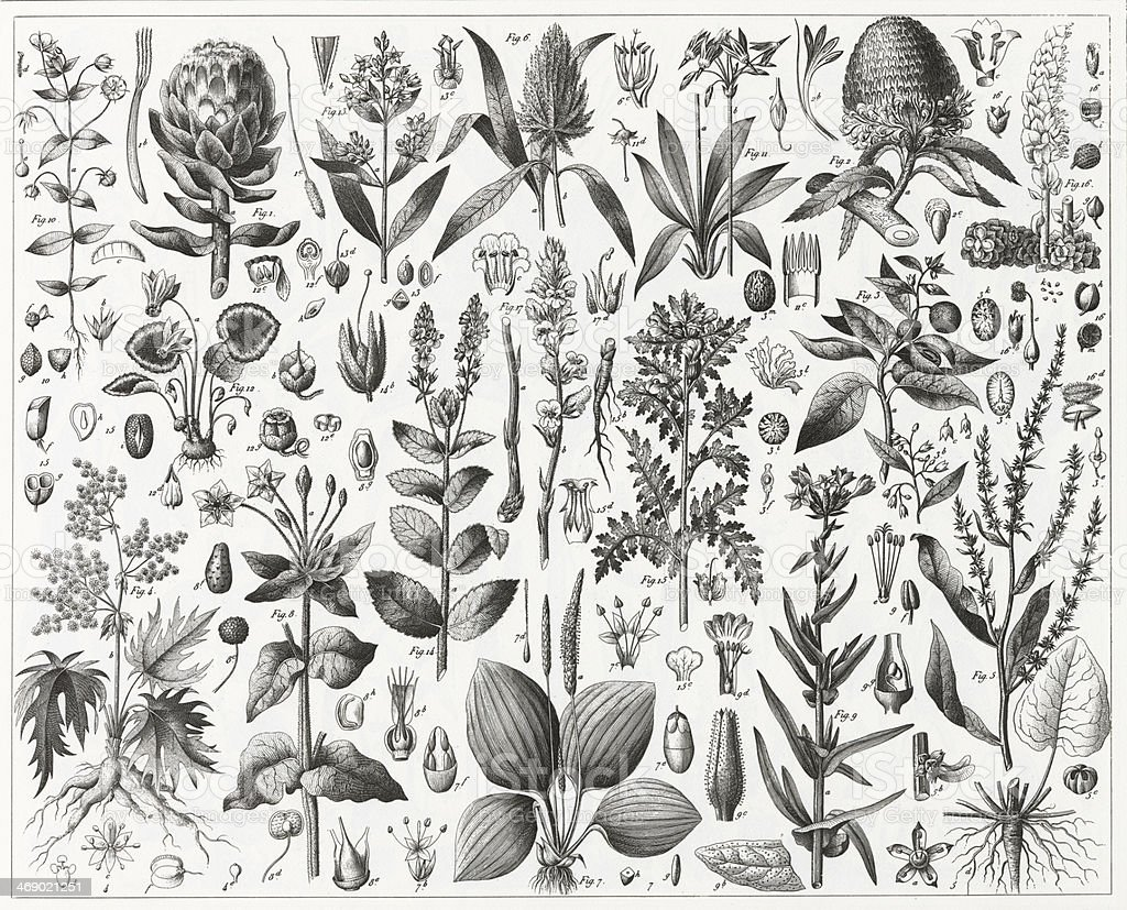 Edible and Medicinal Plants Engraving vector art illustration