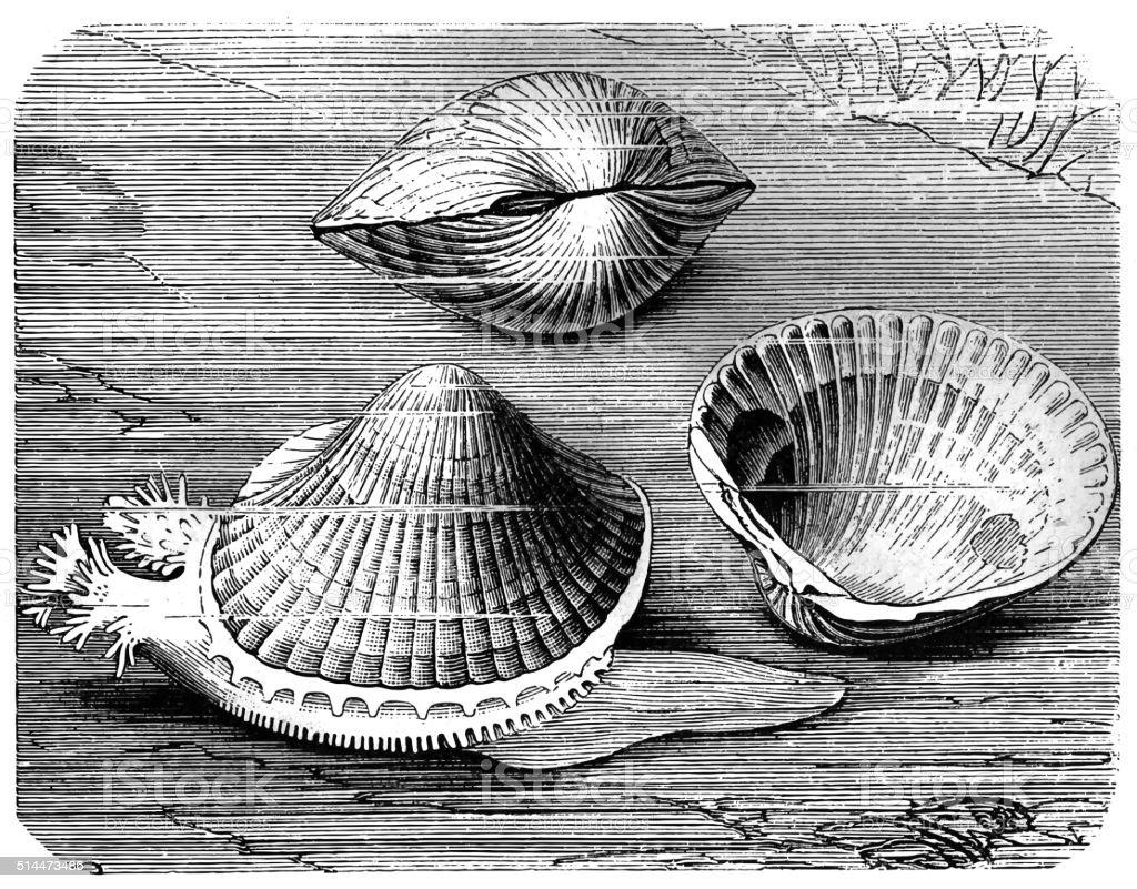 Edible cockle (Cardium edule) vector art illustration