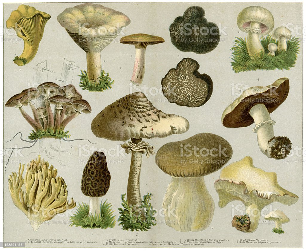 Edible Fungi vector art illustration