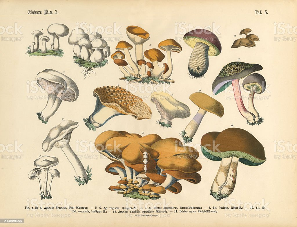 Edible Mushrooms, Victorian Botanical Illustration vector art illustration