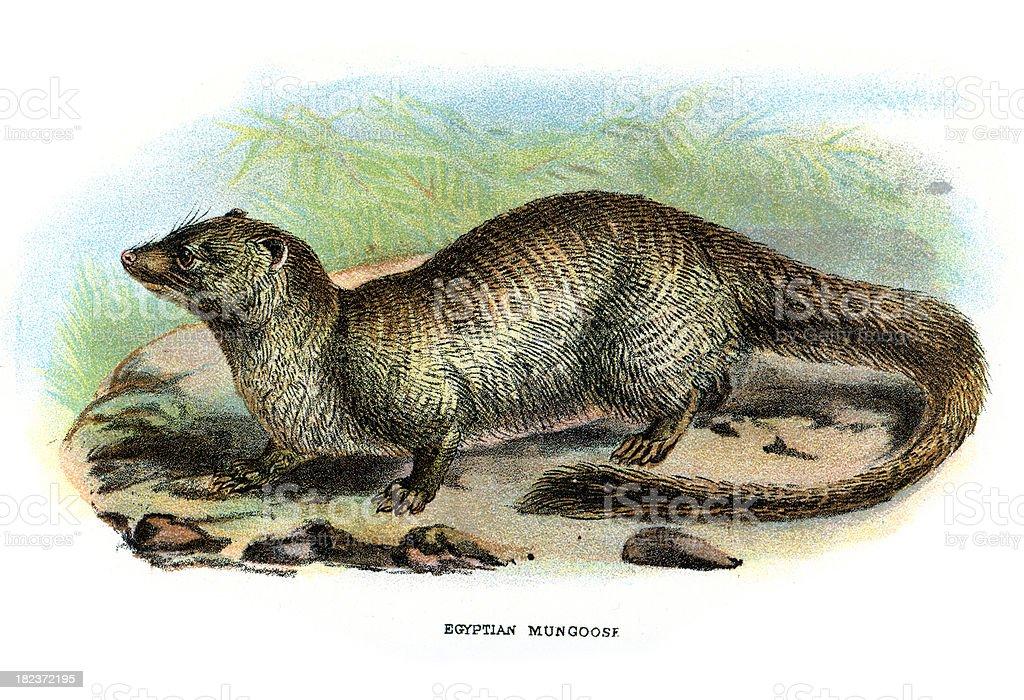 Egyptian Mongoose (Herpestes ichneumon) royalty-free stock vector art