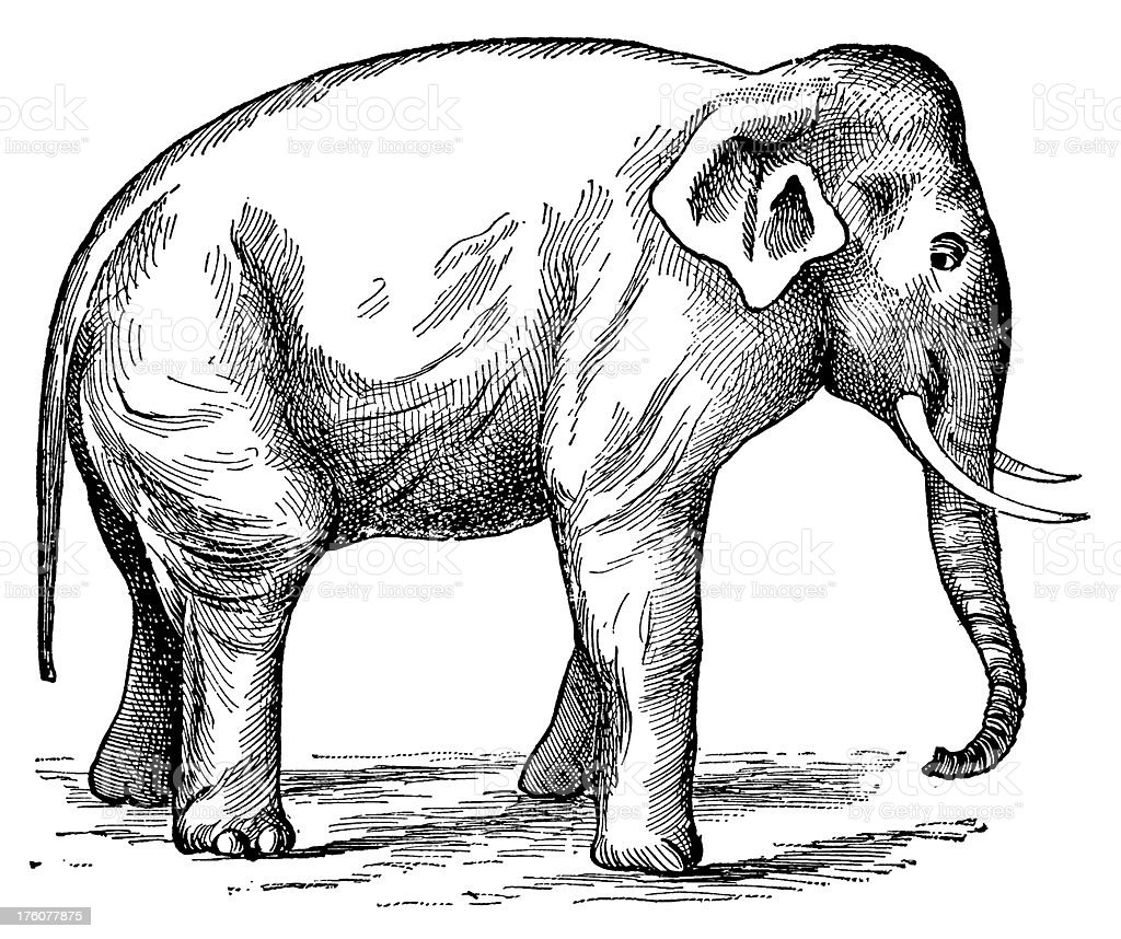 Elephant | Antique Animal Illustrations royalty-free stock vector art