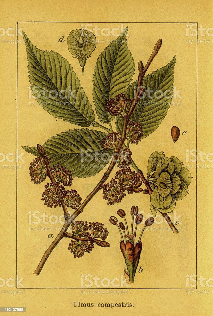 Elm | Antique Botanical Illustrations royalty-free stock vector art
