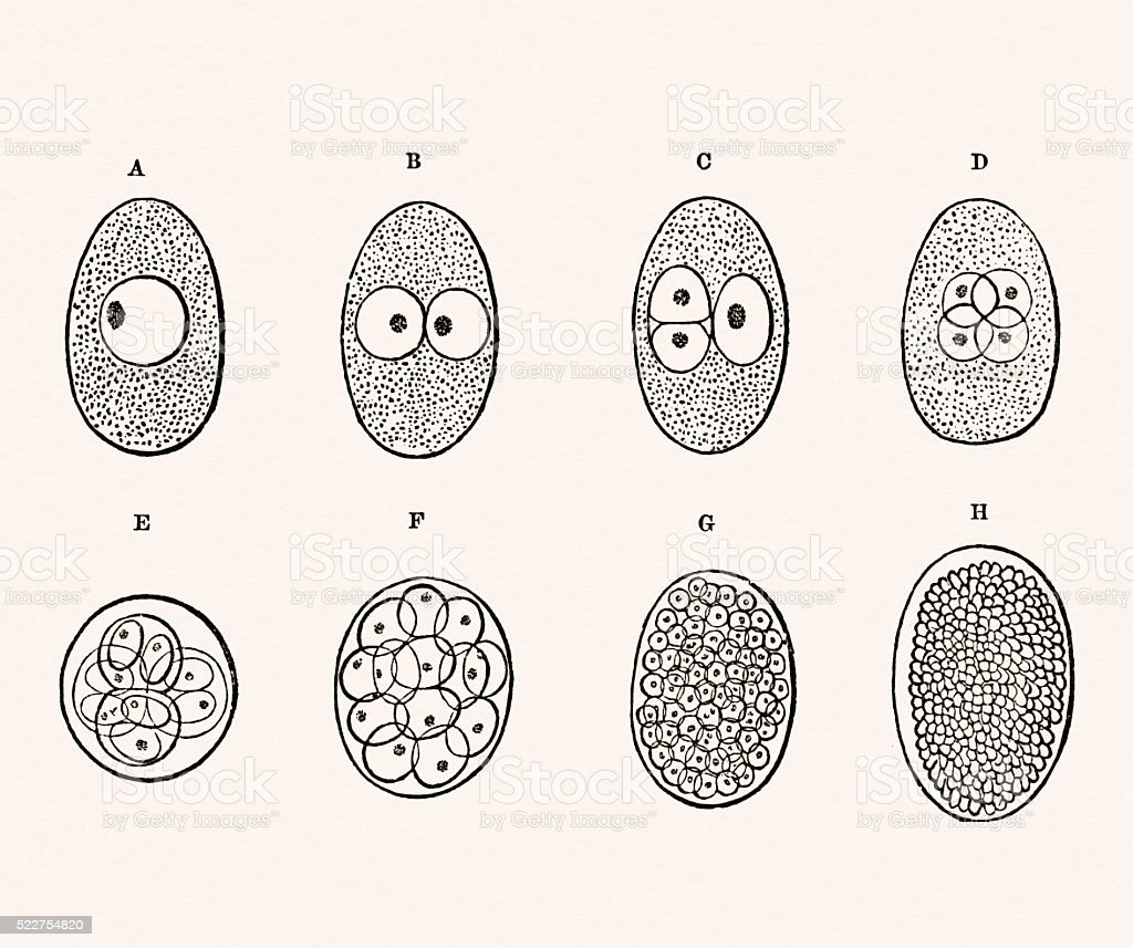 Embryo Development 19 century medical illustration vector art illustration