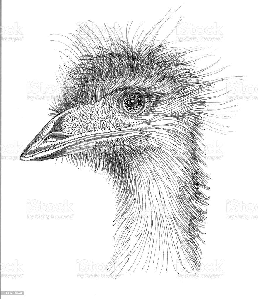 Emu vector art illustration