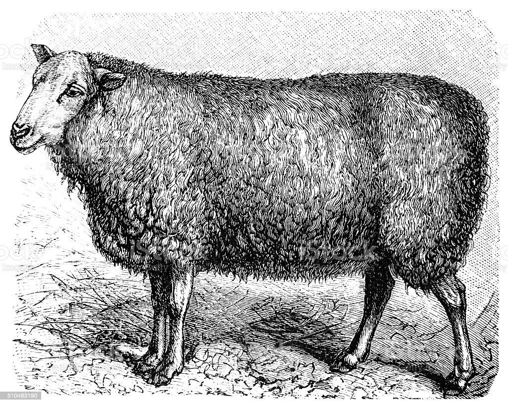 English Leicester sheep vector art illustration