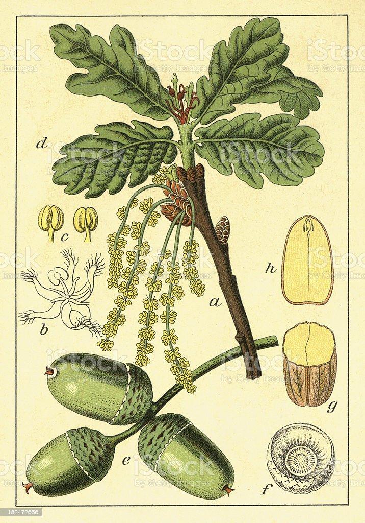English oak | Antique Flower Illustrations royalty-free stock vector art