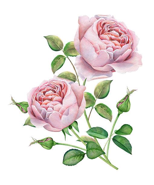 Tea Rose Clipart Black And White: Tea Rose Clip Art, Vector Images & Illustrations