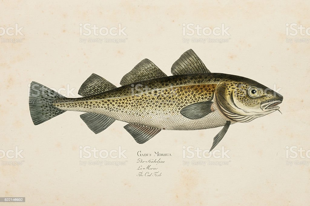 Engraving Atlantic cod fish from 1785 stock photo