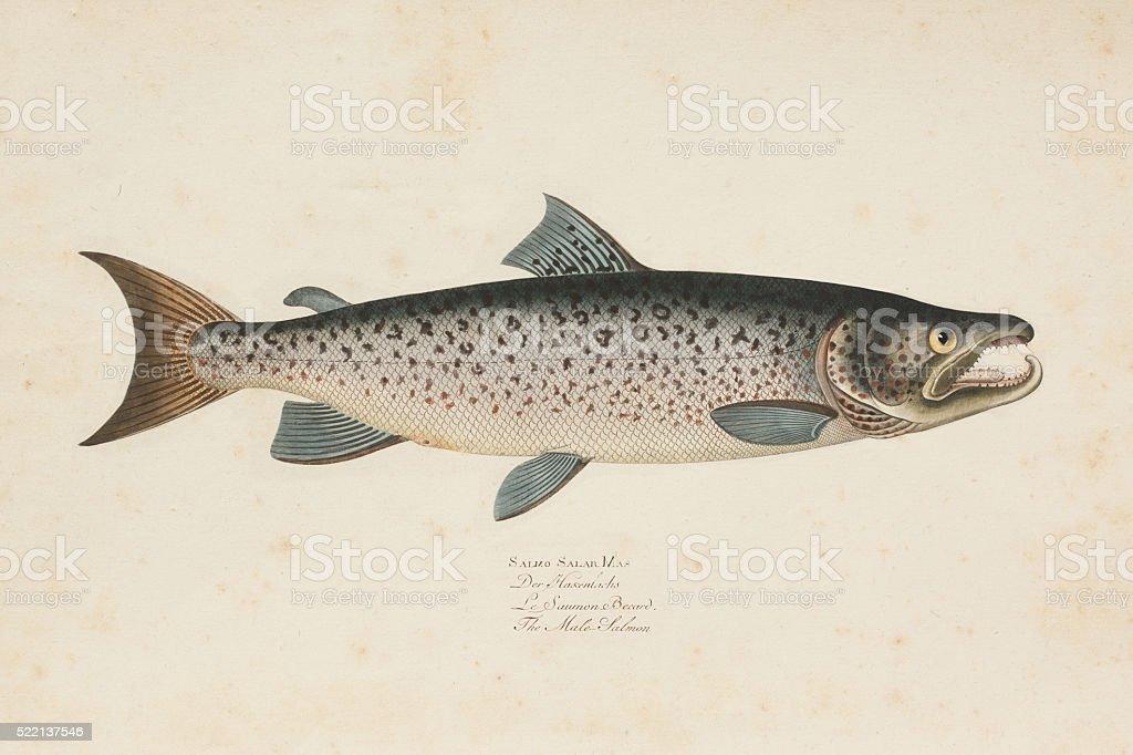 Engraving Atlantic salmon fish from 1785 vector art illustration