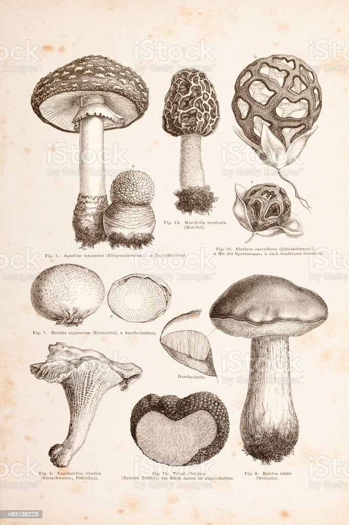 Engraving different mushrooms from 1877 vector art illustration